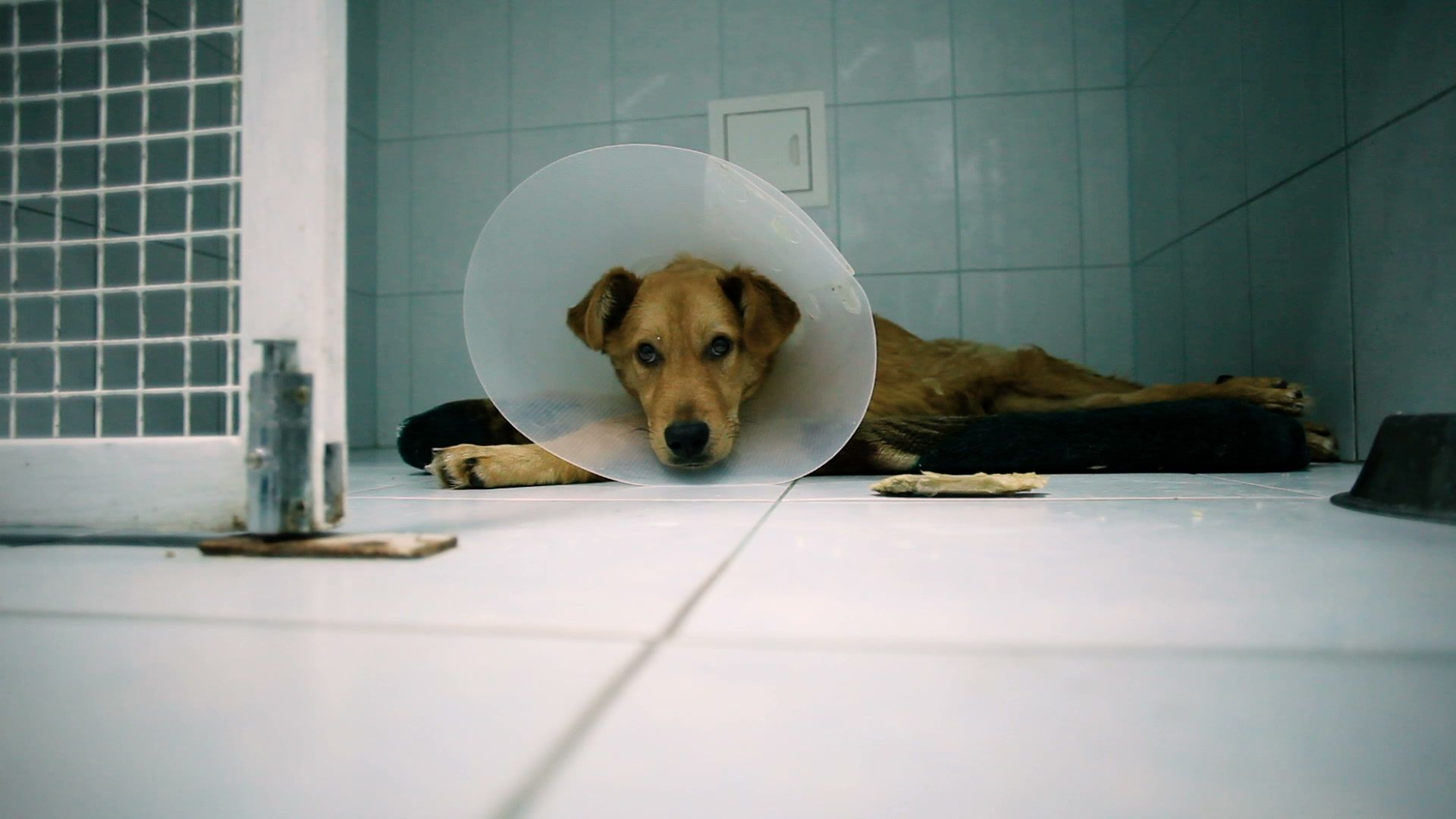 Pets. Big red mongrel dog wearing a medical collar in a