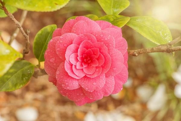 There Are Camellia Varieties For Almost Any Garden Situation In A Wide Range Of Flower Shapes And Colors Sizes Growt Camellia Flower Flower Meanings Flowers