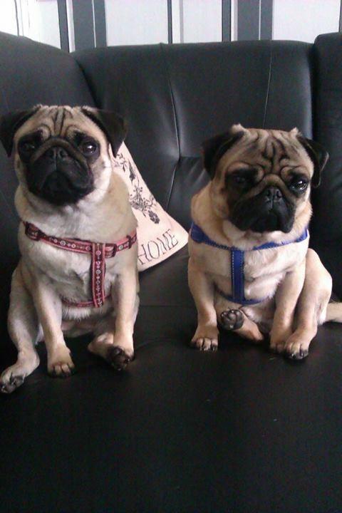 Awwwwwww Marsy21 Pugs Best Dogs Boston Terrier