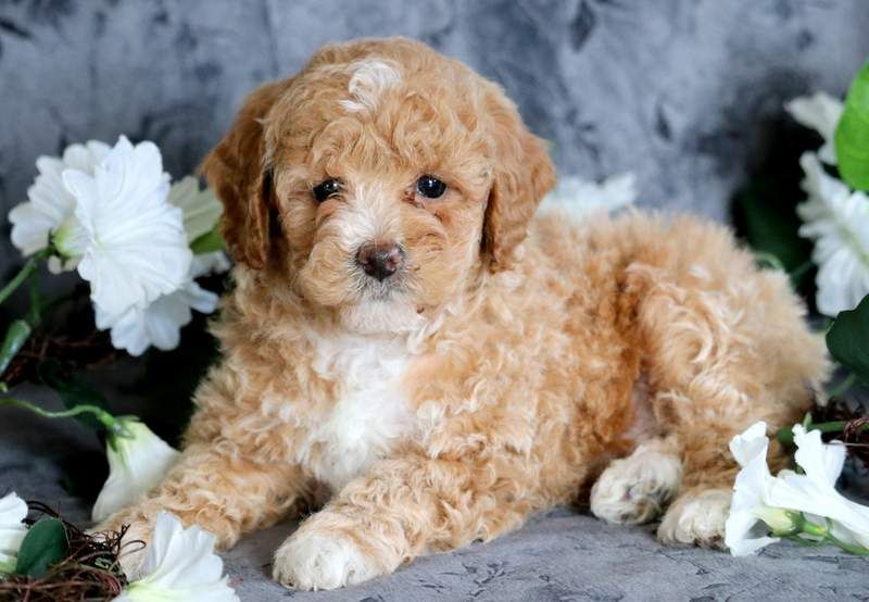 Poodle Toy Puppy For Sale In Mount Joy Pa Adn 71705 On