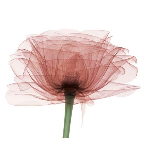 Bryan Whitney - Rose (X-ray photograph on Watercolor Paper)