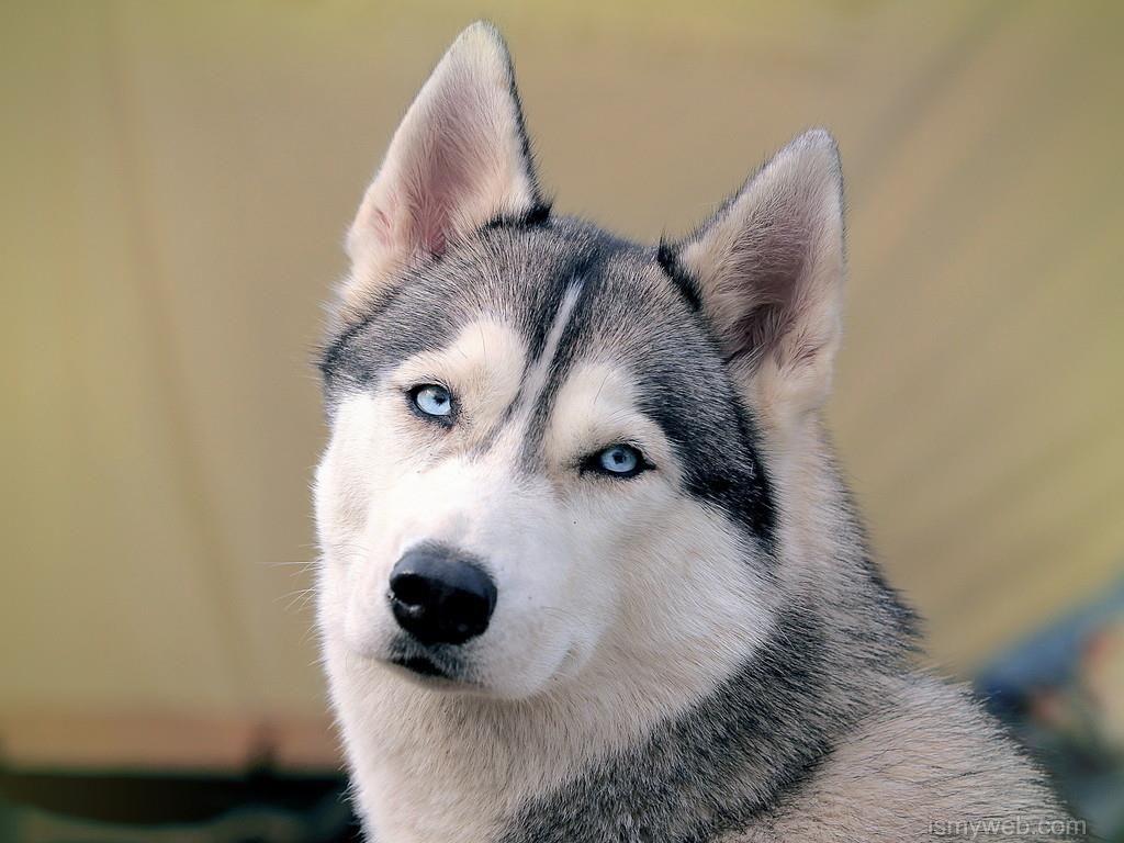 Husky Super Hd Wallpaper Download 4 Wallpaper Pinterest Dogs