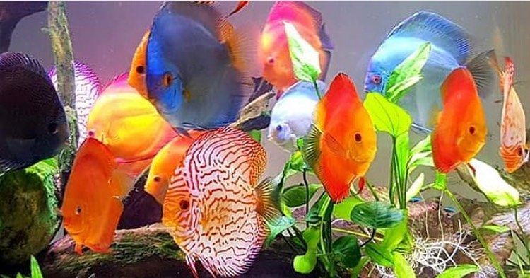 The Discus Family All Credit To Discus My Passion On Instagram