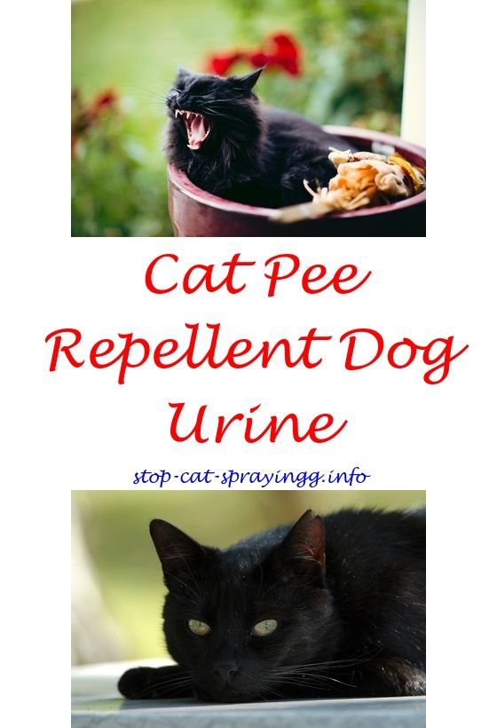 spayed female dog blood in urine