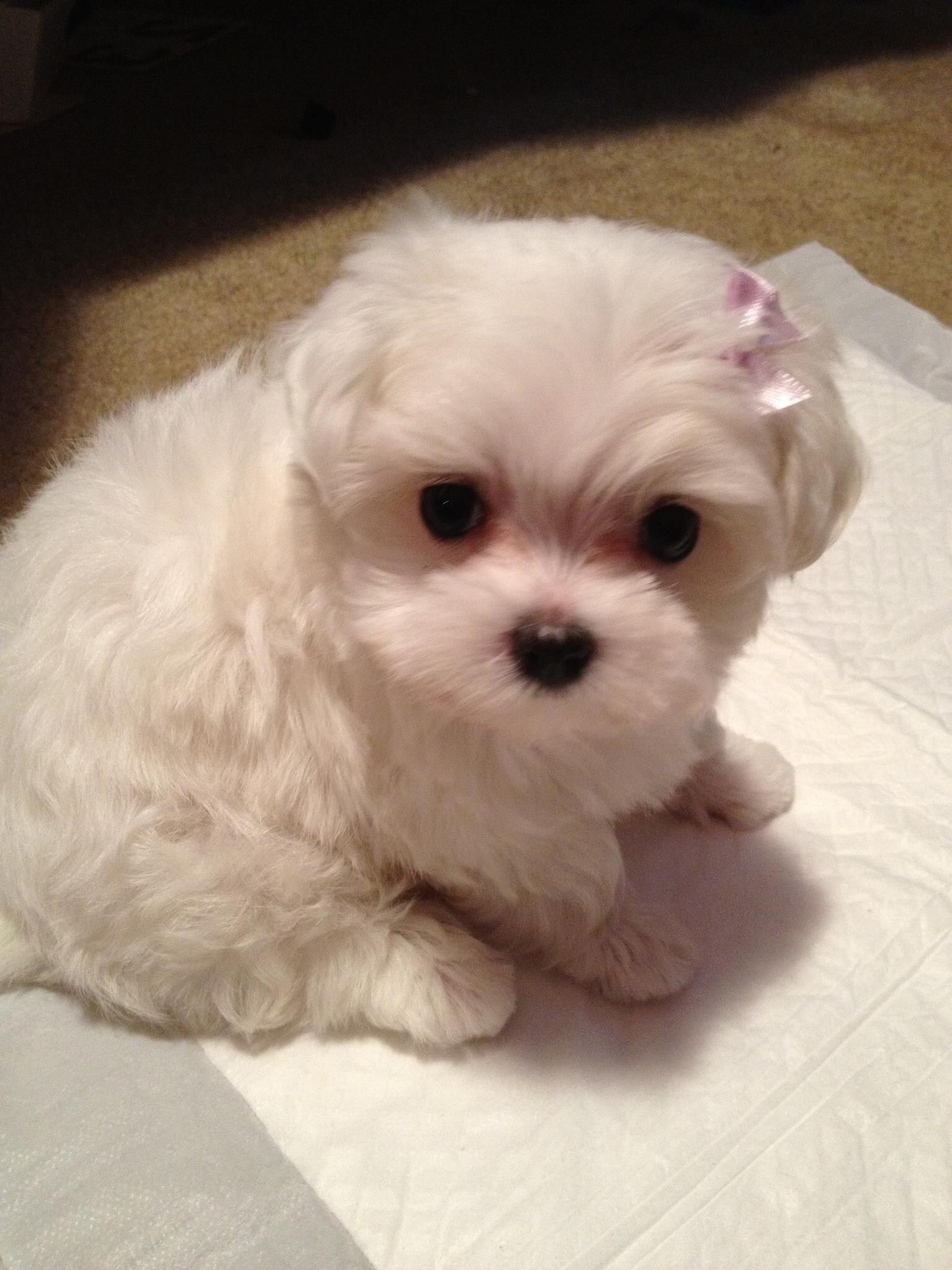I M 6 Weeks Old Maltese Dogs Cute Animals