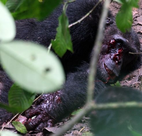 Injured chimp by chimp Pimu was left unable to defend