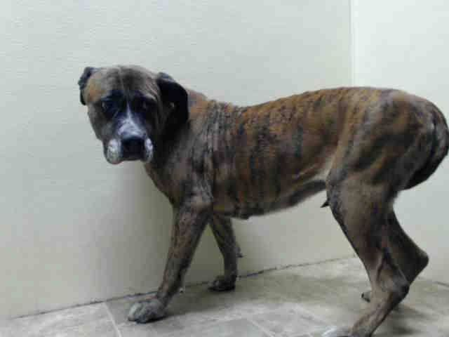 Brooklyn Center Cinnamon A1025796 Female Br Brindle White