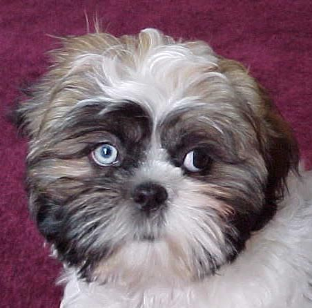 Travis Pup Shih Tzu One Blue Eye One Brown Shih Tzu Dog