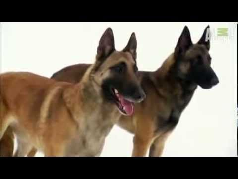 Dogs 101 Belgian Malinois Belgian Malinois Malinois Dog Gifs