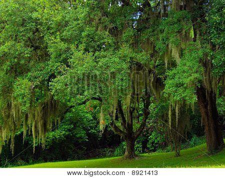 Old Florida Oak