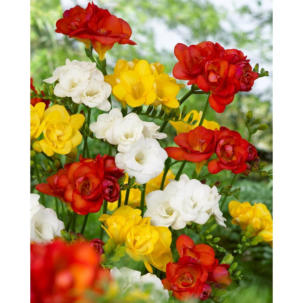 Bloomsz Double Freesia Mix Pack Of 20 Products Container Flowers Flowers Amaryllis Bulbs