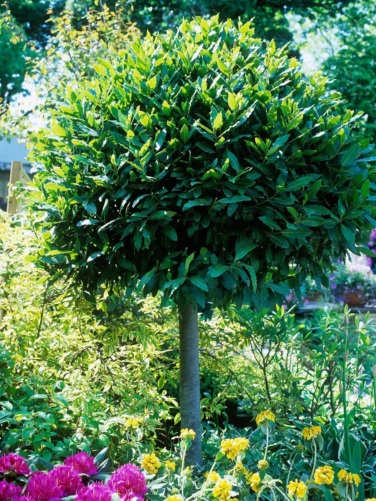 How To Grow A Bay Tree Topiary Garden Garden Types Topiary