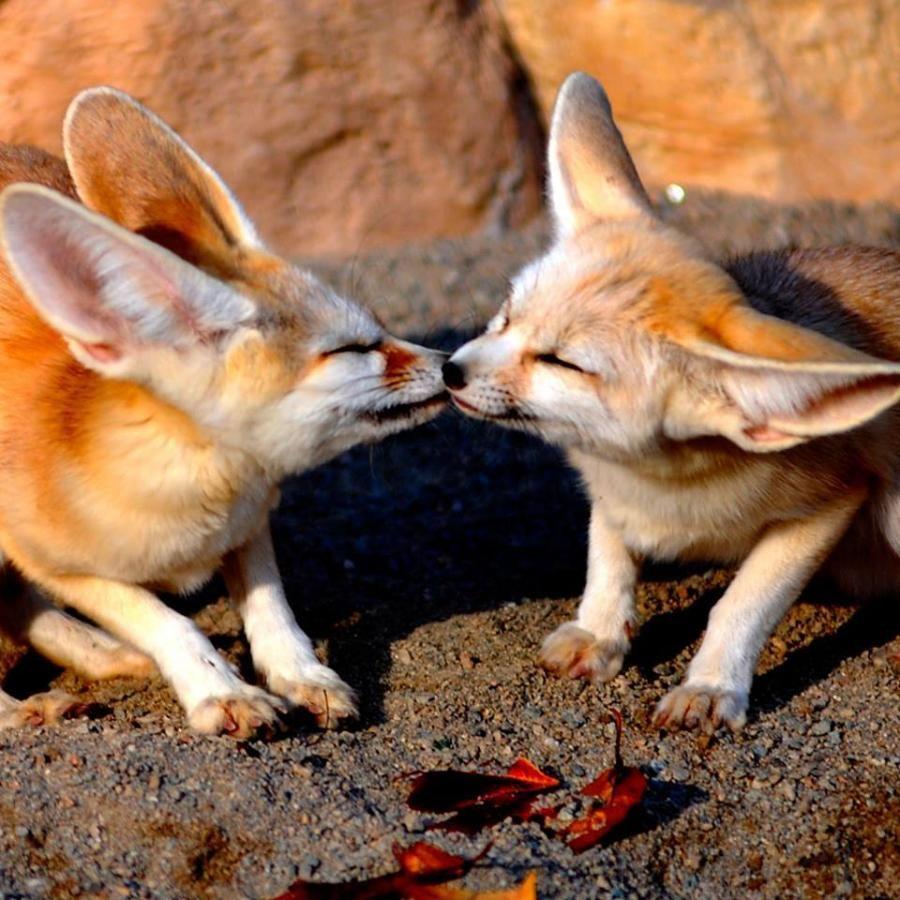 Fenix Fox Fox Animal Study Baby Kittens