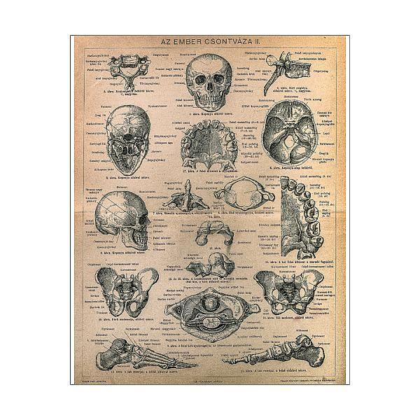 29+ 25cm Photo. Skeleton of men