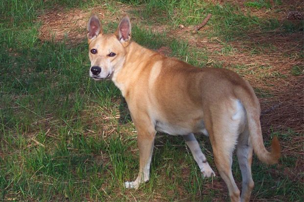 Pet Food Products Supplies At Low Prices Free Shipping Chewy Com Dog Breeds Carolina Dog Dingo Dog