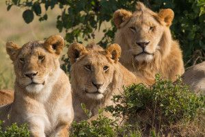 Approximately 1,000 lions are bred to be killed each year on South African farms. Many more animals will be heartlessly murdered if something is not done to outlaw these inhumane places of death; urge South Africa's president to ban all lion farms in his country.