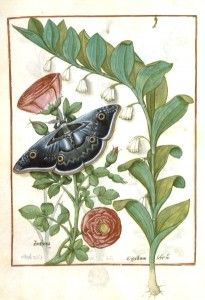 Flowering plants with large gray butterfly. Medieval botanical and horticulatural illustration.