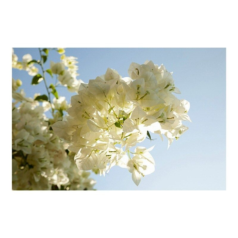 White flowers blossom against a clear blue sky in this beautiful 4 panel wall mural. Size: 104in x 72in x 0.025in.