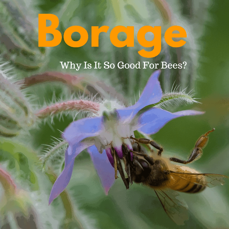 Borage - Brandon discusses the history of this great plant that bees all around the world love. If you want to help the bees have a read.