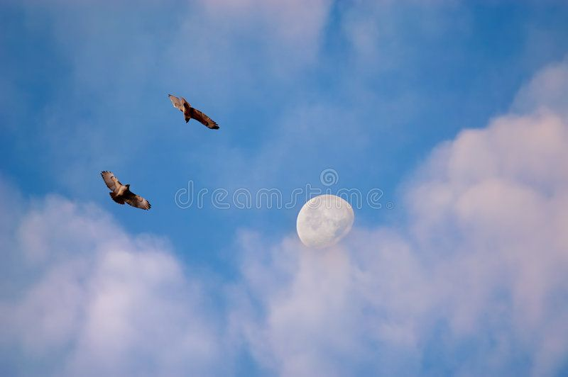Hawks and moon in morning. Two hawks flying with clouds and moon in background ,