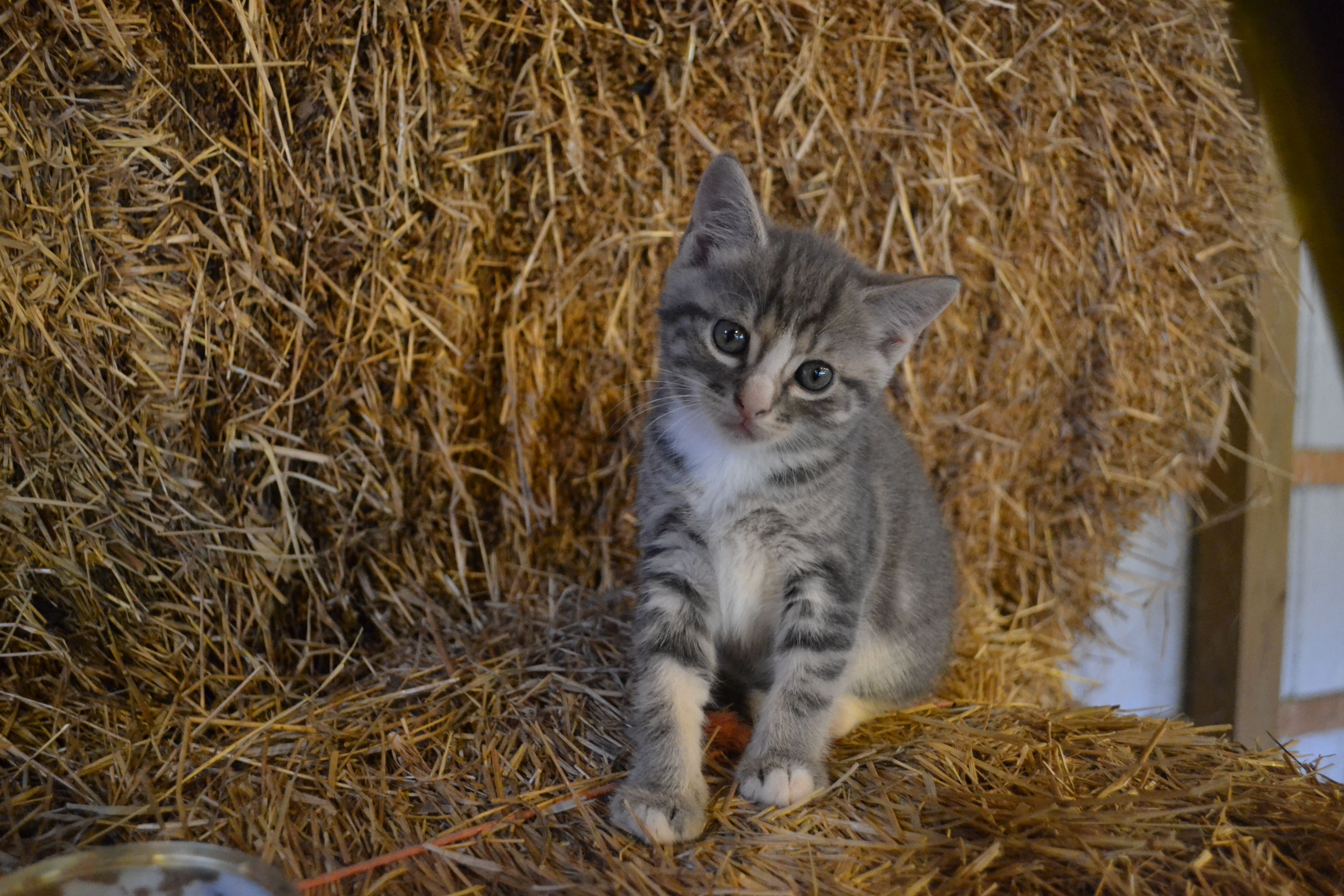 Gray Tiger Cat Pictures
