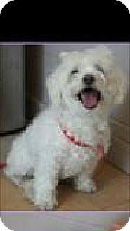 Crownsville Md Bichon Frise Maltese Mix Meet Matilda A Dog For Adoption Http Www Adoptapet Com Pet 16489848 Crownsvil Pets Kitten Adoption Dog Adoption