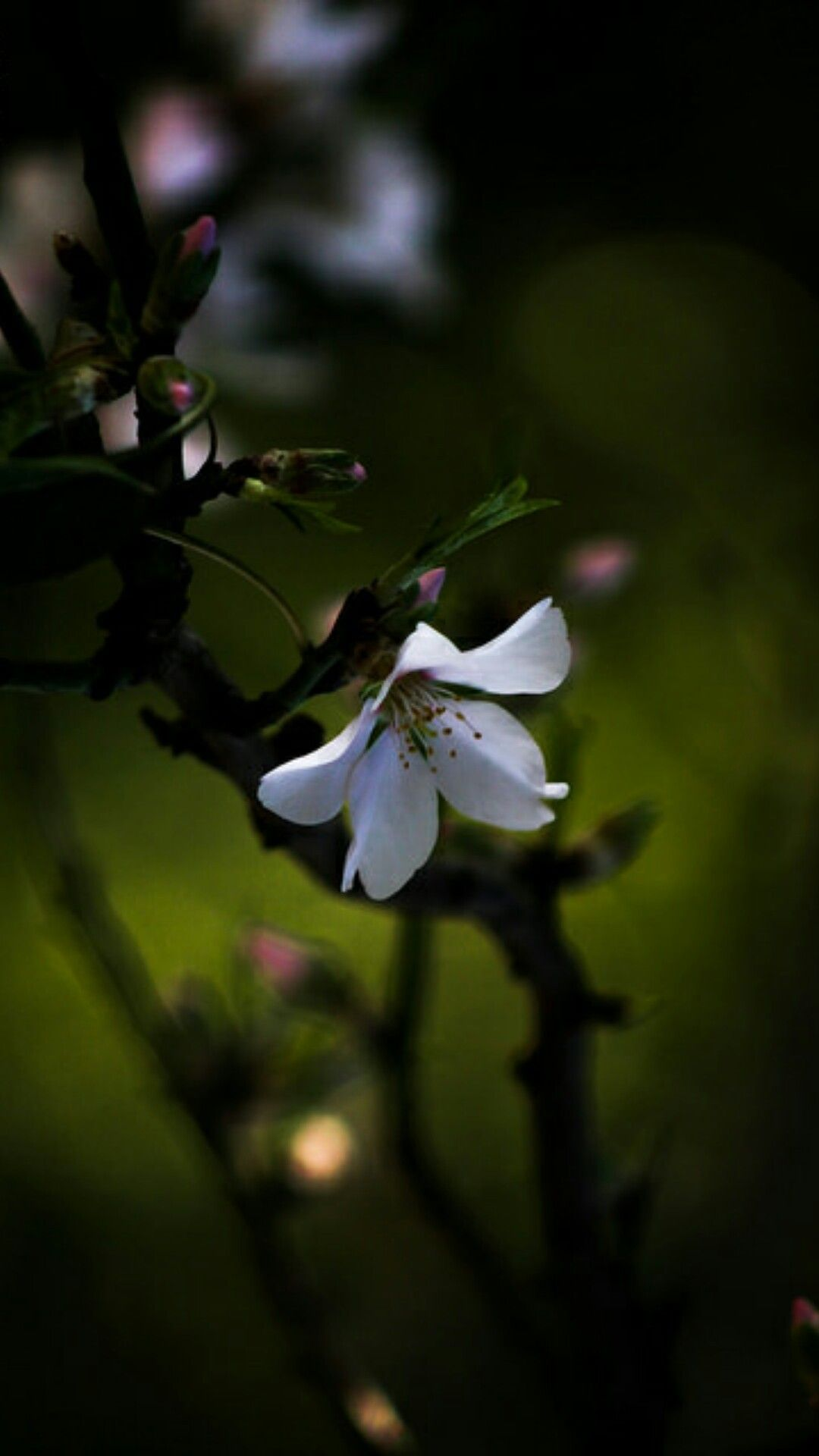 Цвет вишни цветы Pinterest