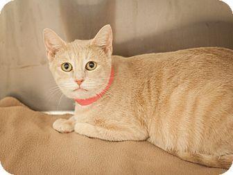 Dallas Tx Domestic Shorthair Meet Guerrita A Cat For Adoption Http Www Adoptapet Com Pet 15204809 Dallas Texas Cat Cat Adoption Kitten Adoption Cats