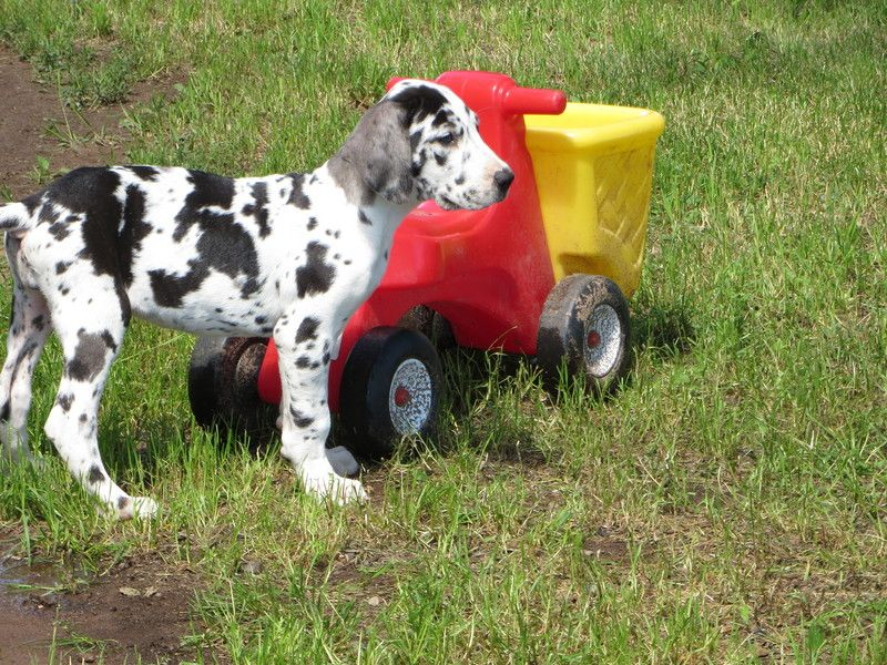 Startribune Com Shopping And Classifieds Search Pets Great Dane