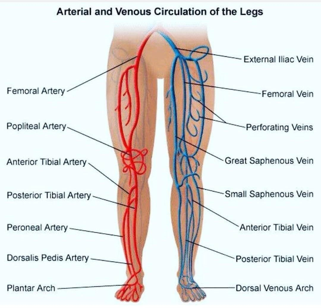 medium resolution of arteries and veins of leg