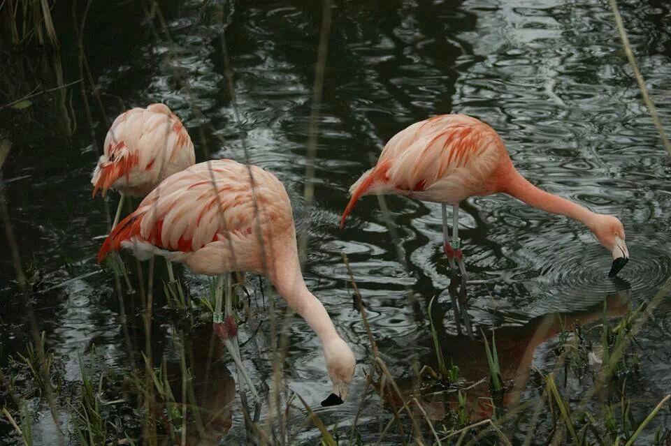 #photo flamingo watering hol