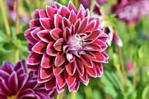 Dahlias -  Dahlias: How to Plant, Grow, and Care for Dahlia Flowers | The Old Fa... -  Dahlias –  Dahlias: How to Plant, Grow, and Care for Dahlia Flowers | The Old Fa… –  Dahlias  - #Care #Clematis #Daffodils #dahlia #dahlias #EnglishRoses #flowers #Gladioli #Grow #Irises #plant #Tulipi
