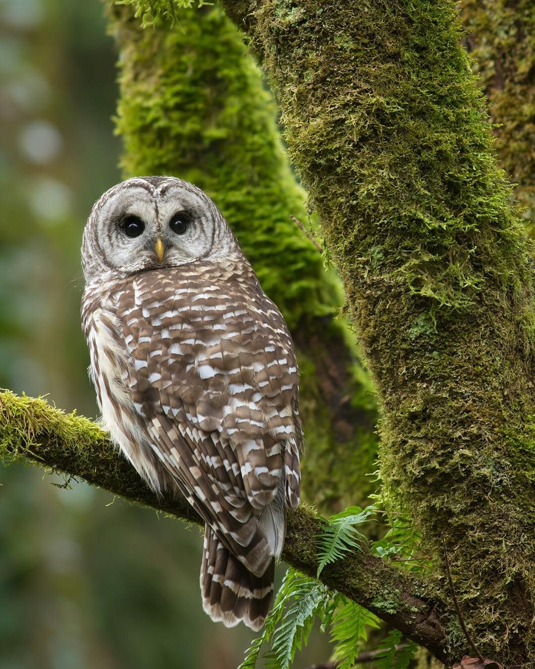 """Jess Findlay on Instagram """"A Barred Owl in the temperate"""