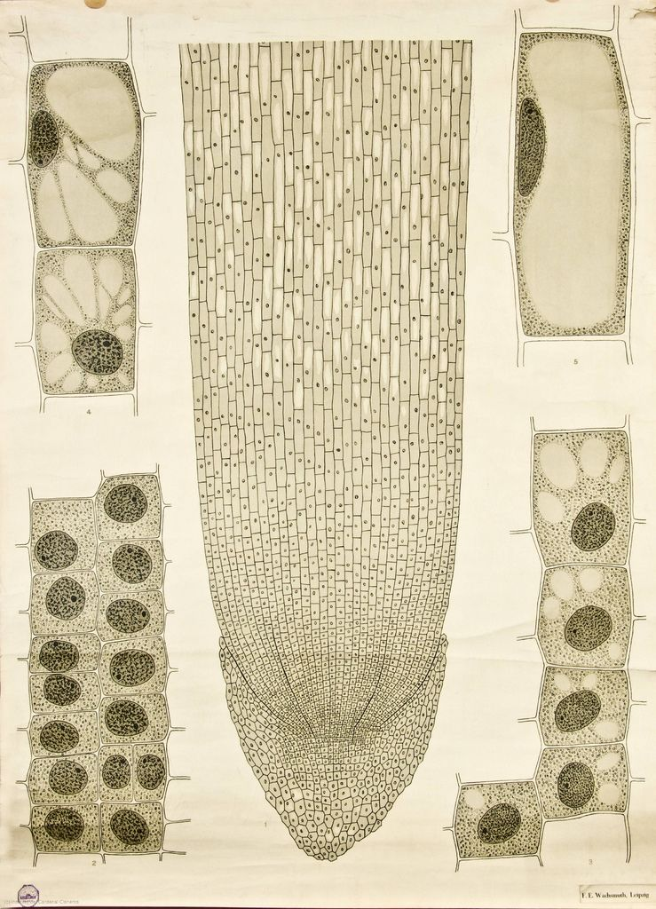 Cell growth    'Anatomia Vegetal' by Frederik Elfving (1929)