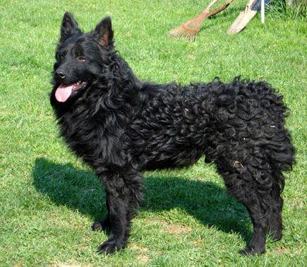 Croatian Sheepdog Photo Source Wikipedia Org Wiki Croatian