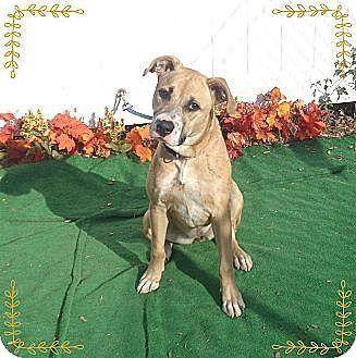 Potomac, MD Boxer/Labrador Retriever Mix. Meet Carlotta