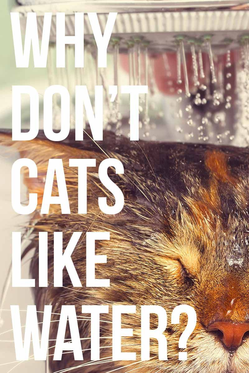 Why Don't Cats Like Water? Cat site, Cat facts, Cat