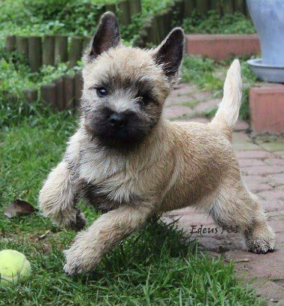 Totally Adorable and Playful Cairn Terrier Puppy Cairn