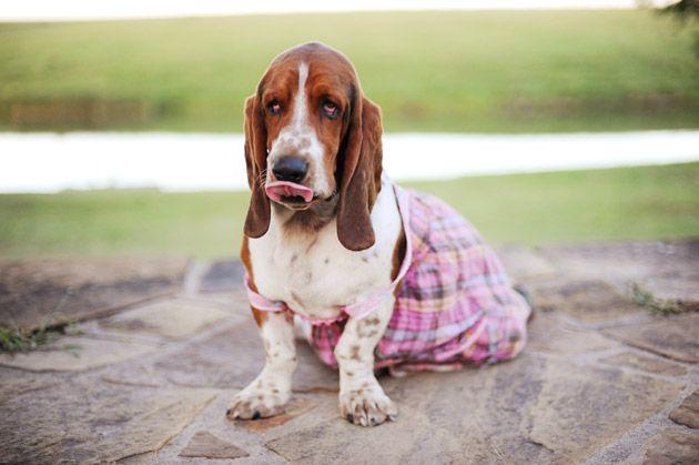 I'm Sorry, Charlie Basset puppies, Basset hound, Bassett