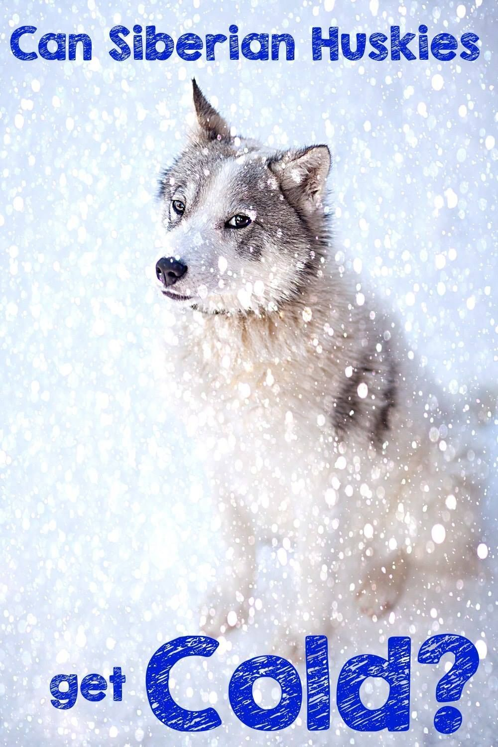 Siberian Huskies Don T Feel The Cold Do They After All They