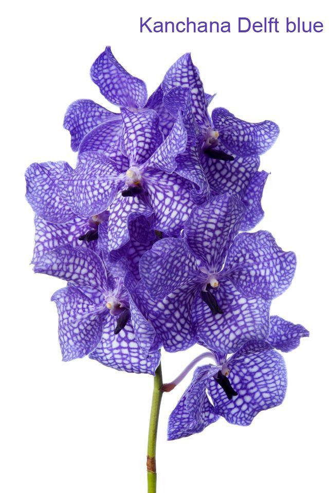 Vanda Kanchana Delft Blue Vanda Orchids Orchids Wholesale Flowers