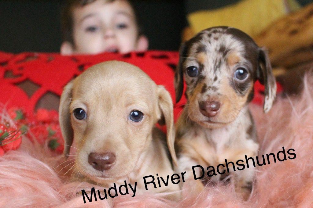 Miniature Dachshunds At Muddy River Dachshunds Dachshund