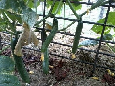 Growing cucumbers vertically against a wire frame.