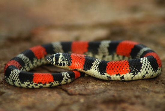 Ringed Hognose Snake, Lystrophis semicinctus - Bolivia