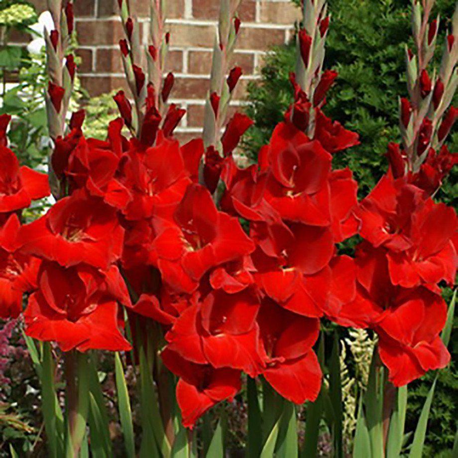 Allium Ampeloprasum Gladiolus Gladiolus Bulbs Flowers
