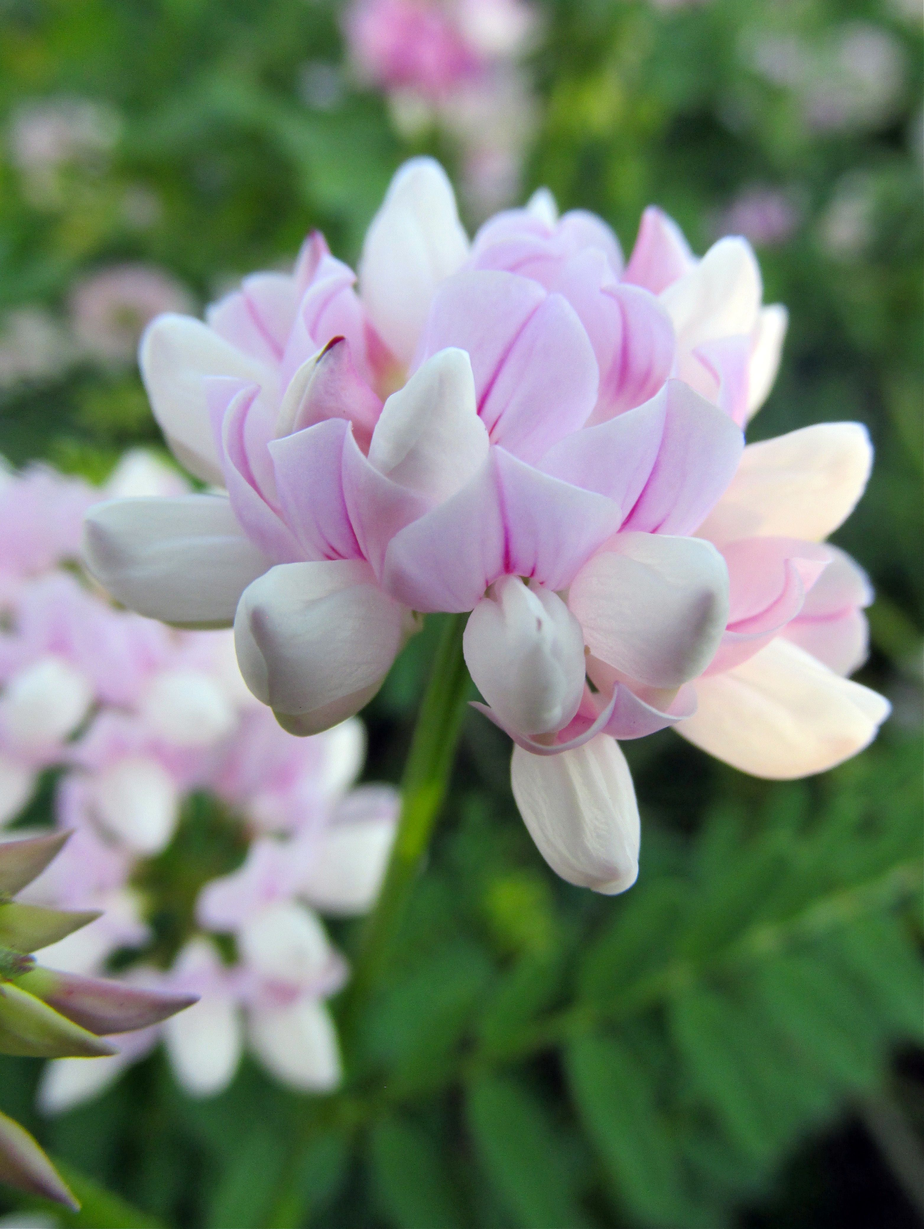Crown vetch beautiful in its correct designated place not in my crown vetch beautiful in its correct designated place not in my garden izmirmasajfo