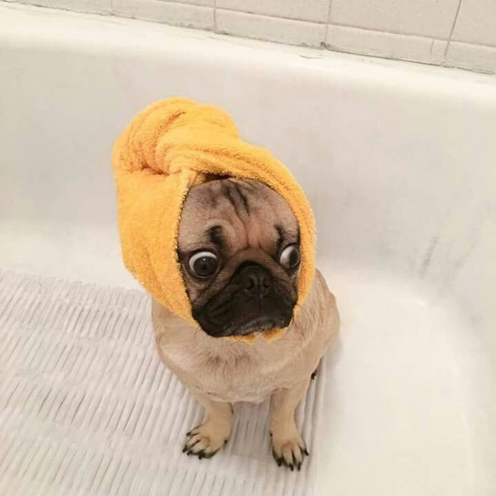 Pug In The Shower Pugs Funny Cute Pugs Pugs
