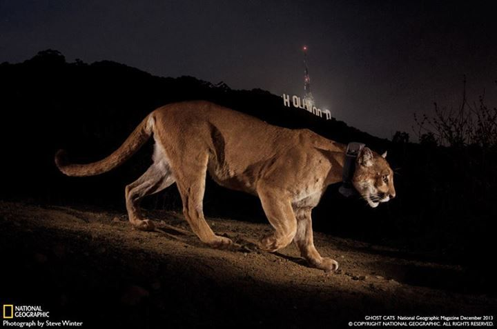 Mountain Lion in downtown Los Angeles's Griffith Park.