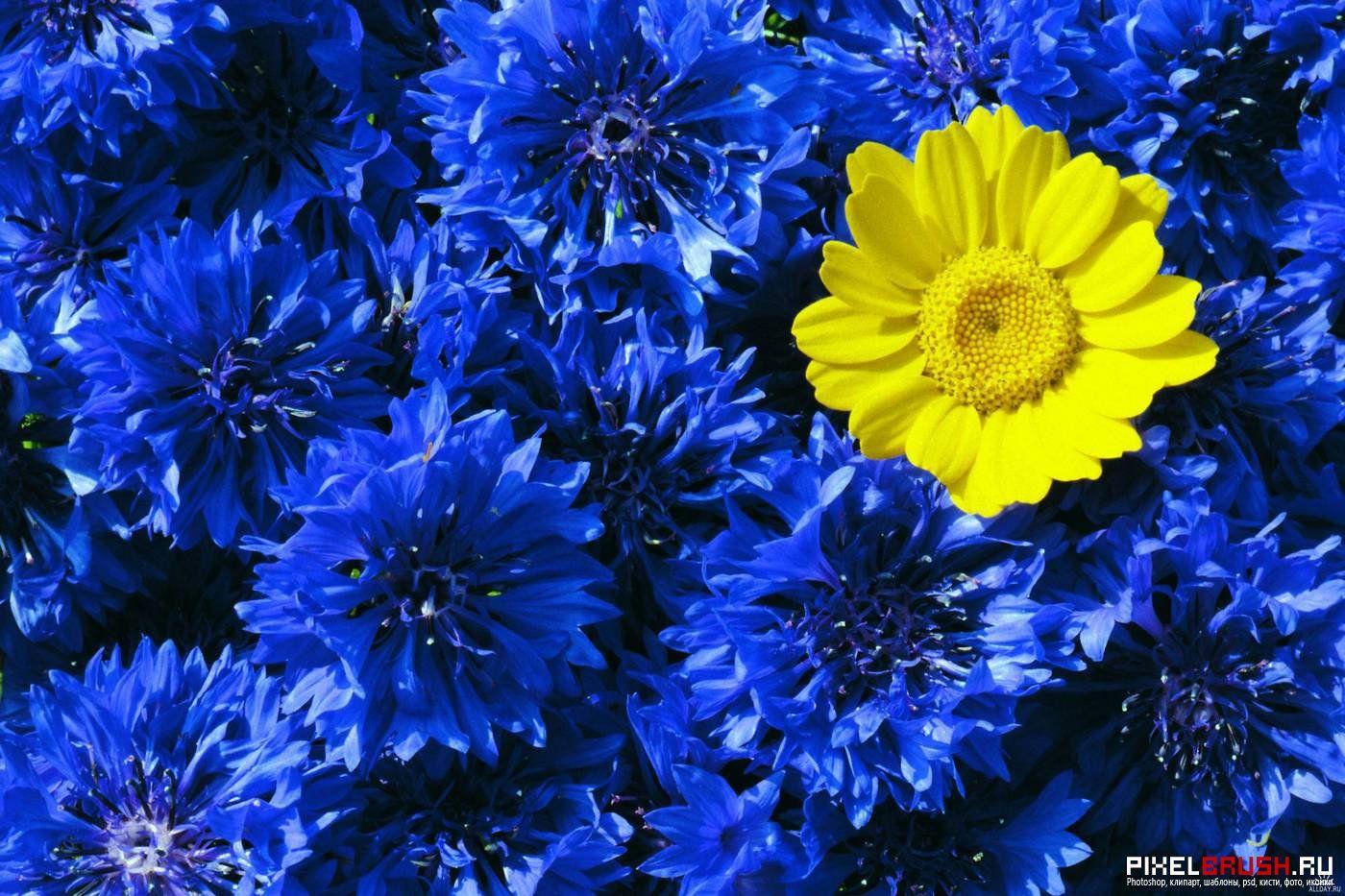 Картинки по запросу васильки цветы фото | Цветы, Обои ...
