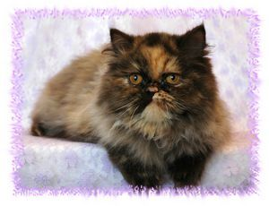 Bi Color And Parti Color Persian Breeders Teacup Kitten Cute Cats And Dogs Persian Kittens